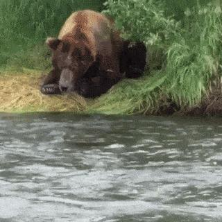 Here is how bear catching fish