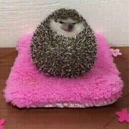 Hedgehog want food