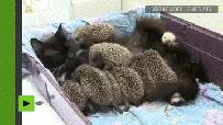 A cat suckles babies hedgehogs 😽