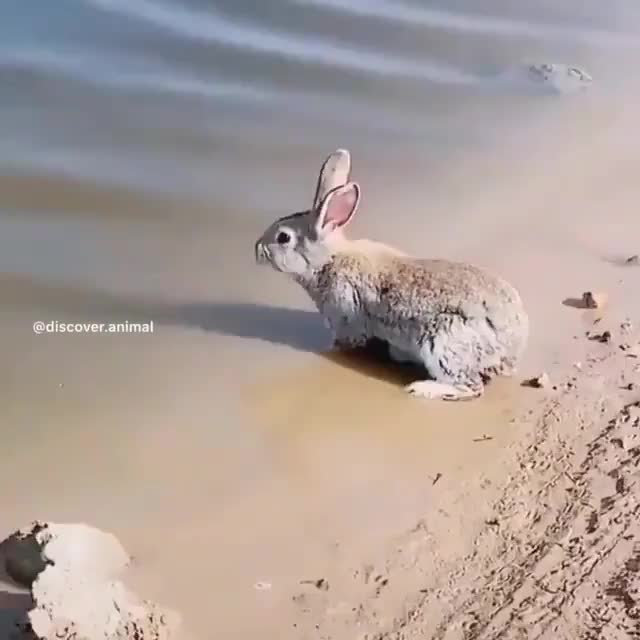 A rabbit can swim!