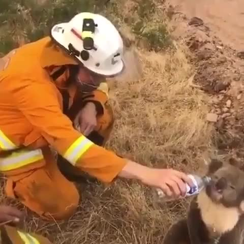 ⁣Australian firefighter giving a thirsty koala a drink