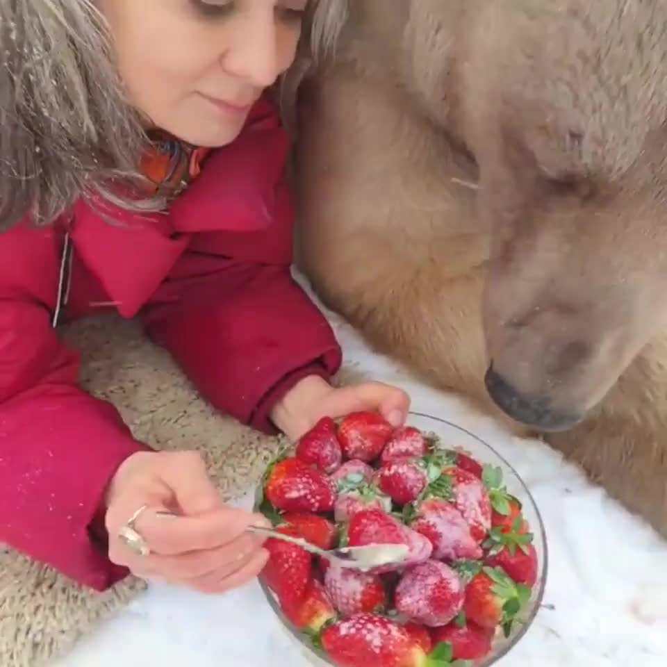 Bear eat strawberries