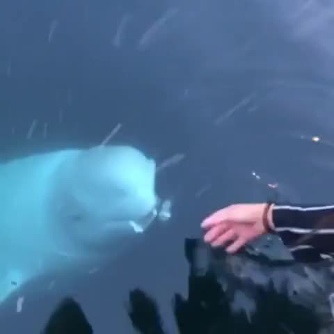 ⁣Beluga Whale saves phone from the depths of the sea in Norway.