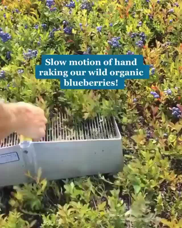 ⁣Blueberries ⁣machine picking
