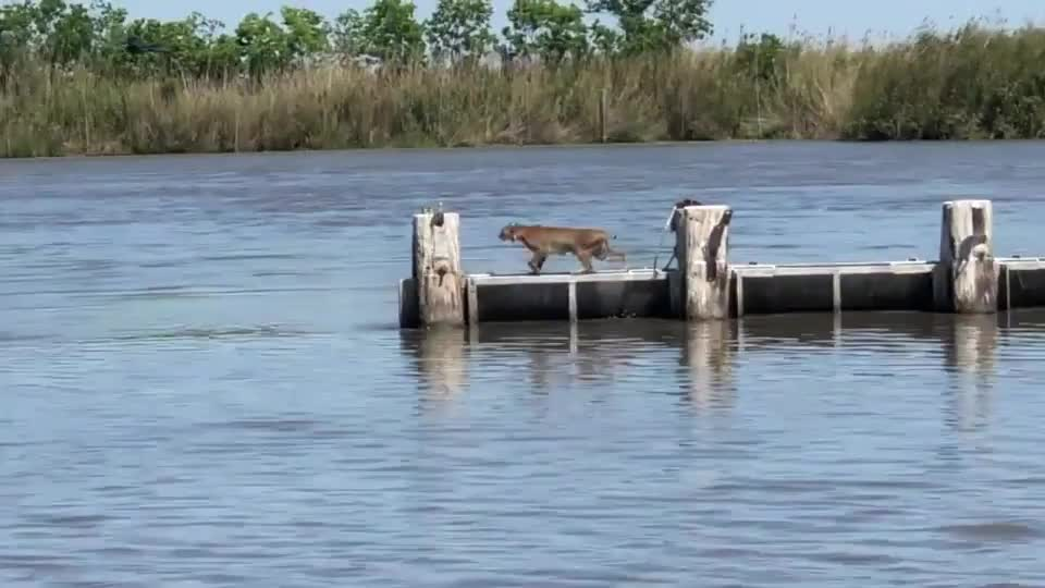 Bobcat makes an impressive jump