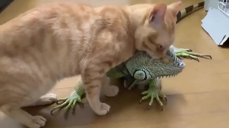 Cat love his ⁣iguana pal