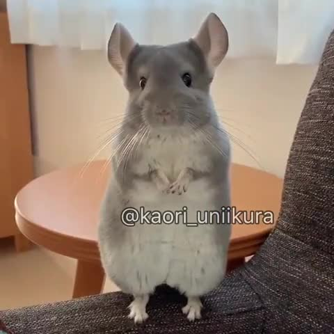 ⁣Chinchilla shows 4 fingers