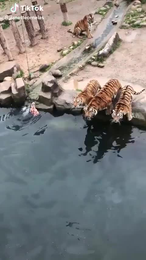 How to bath a tiger