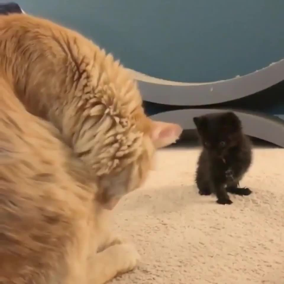 Kitten learns to groom herself