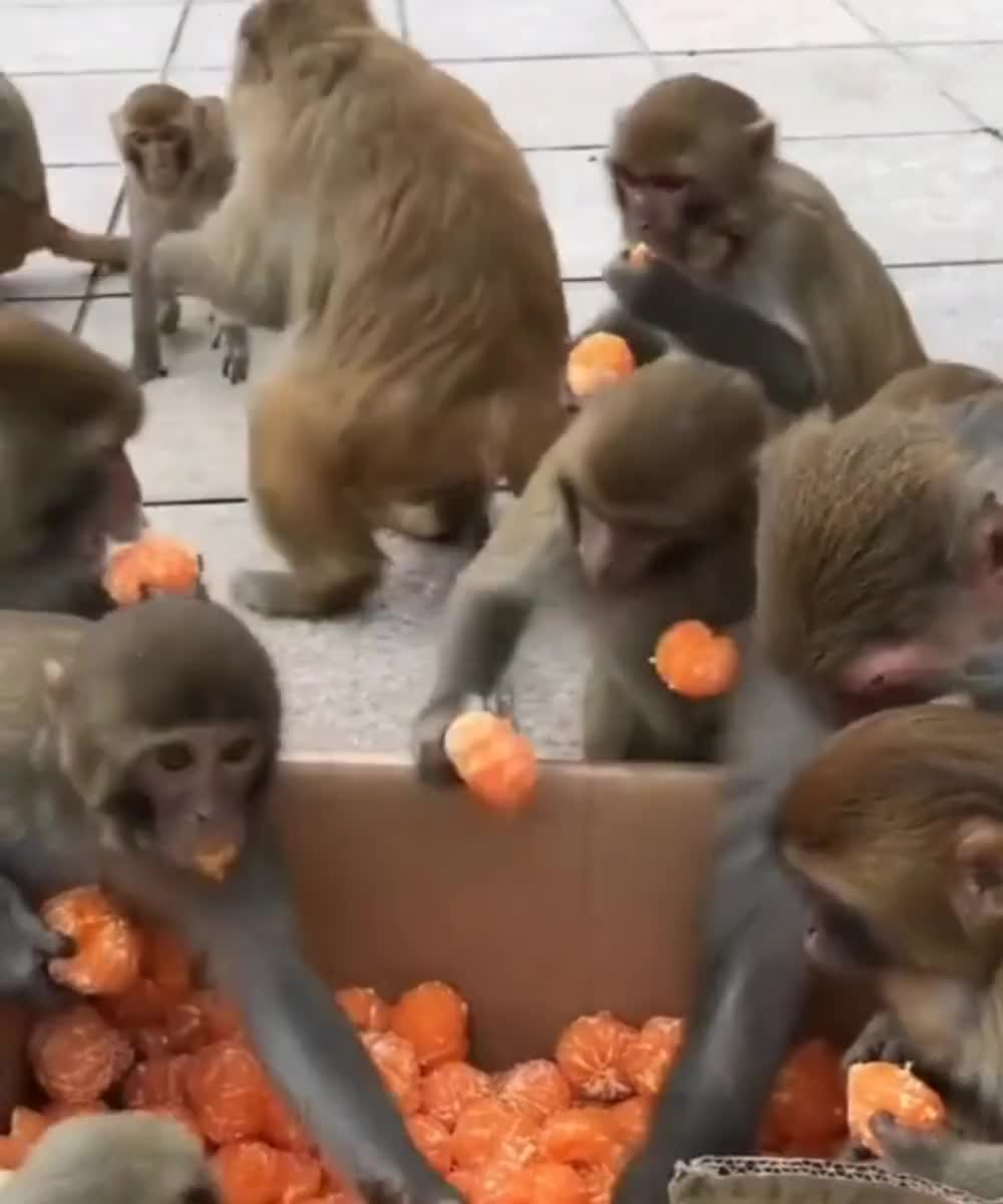 ⁣Monkeys sharing oranges