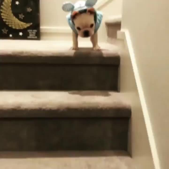 Puppy tries to make it down the stairs