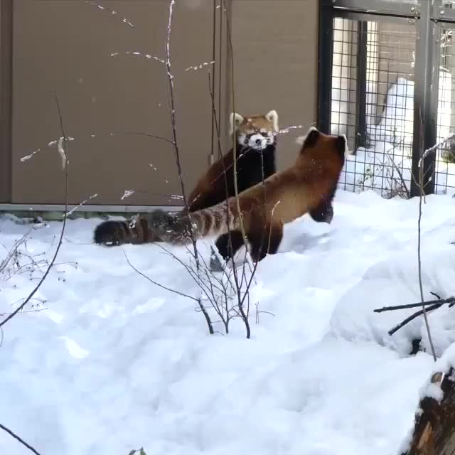 ⁣Red panda handshake