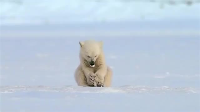 Seal accidentally scares a small baby polar bear