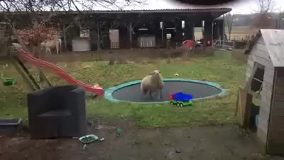 sheep vs trampoline