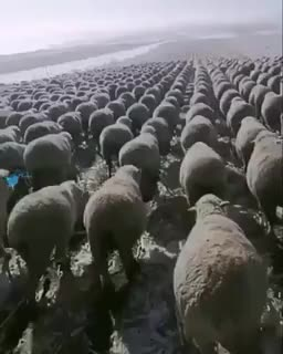 ⁣The way these sheep are aligned