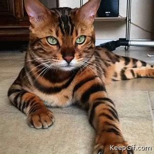 Beautiful Belgian Bengal Cats Yes or No?
